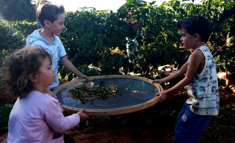 colheita_fazenda_palmeira_café